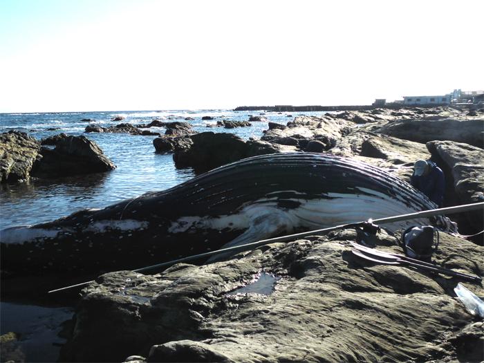 南房総 川口 クジラ